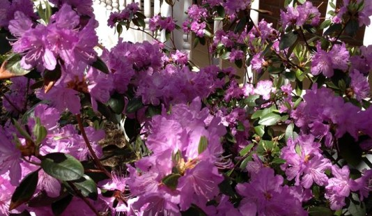 Flowering Shrubs for Acidic Soil